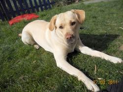 Mamba, chien Labrador Retriever