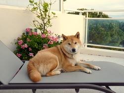 Hyoga, chien Shiba Inu