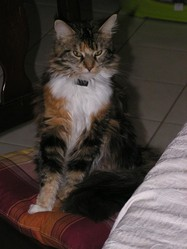 Dune, chat Maine Coon