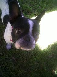 Chanel, chien Bouledogue français