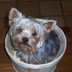 Barha, chien Yorkshire Terrier