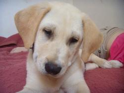 Fable, chien Labrador Retriever