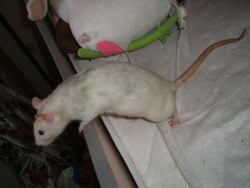 Tsuky, rongeur Rat