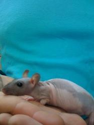 Bea, rongeur Rat