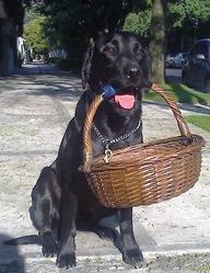 Alfie, chien