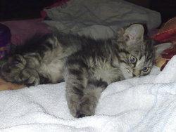 Nala, chat Européen