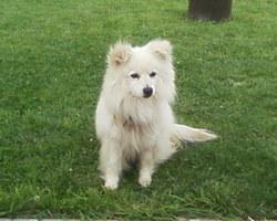 Seuly, chien Spitz japonais