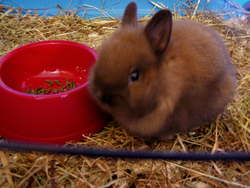 Chataigne, rongeur Lapin