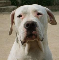 Vaérone , chien Dogue argentin