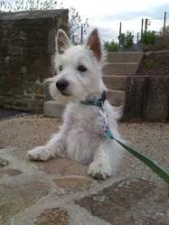 Bianca, chien West Highland White Terrier