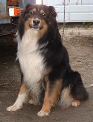 Lymbo, chien Berger australien