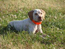Fatale, chien Braque du Bourbonnais