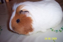 Caresse, rongeur Cochon d'Inde