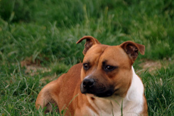 Crocodile, chien Staffordshire Bull Terrier
