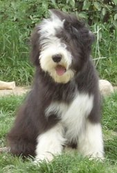 Connor, chien Bearded Collie