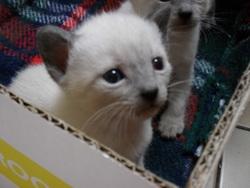 Kya, chat Siamois