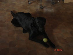 Youki, chien Labrador Retriever