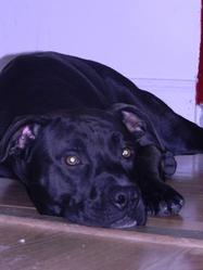 Slyder, chien American Staffordshire Terrier