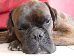 Artemus, chien Boxer