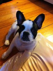 Hector, chien Bouledogue français