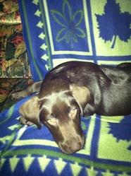 Falka, chien Labrador Retriever