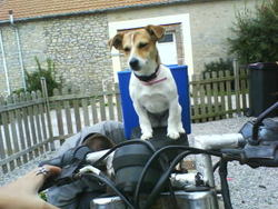 Youky, chien Jack Russell Terrier