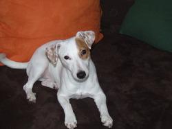 Princesse, chien Jack Russell Terrier
