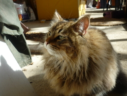 Clochette, chat Maine Coon