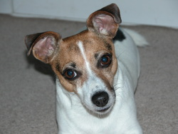 Agate, chien Jack Russell Terrier