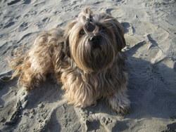 Thalys, chien Lhassa Apso