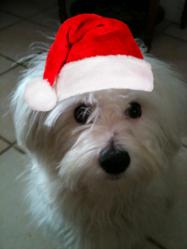 Elfy, chien Coton de Tuléar