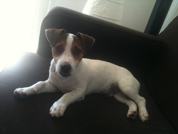 Foster, chien Jack Russell Terrier
