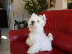 Falko, chien West Highland White Terrier
