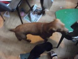 Drago, chien