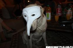 Arsouille, chien Labrador Retriever