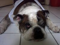 Oscar, chien Bulldog