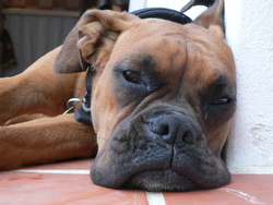 Emy, chien Boxer