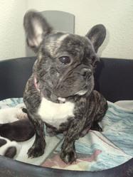Duchesse, chien Bouledogue français