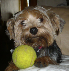 Puppy, chien Yorkshire Terrier