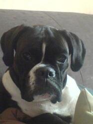 Sangria, chien Boxer