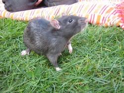 Skittles, rongeur Rat