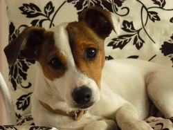 Dayson, chien Jack Russell Terrier
