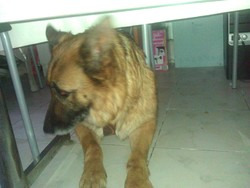 Verna, chien Berger allemand