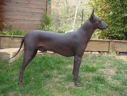 Dao , chien Chien nu du Pérou