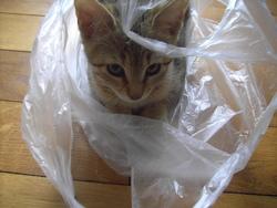 Kitty, chat Ceylan