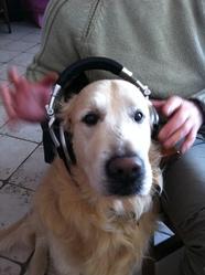 Oxbow, chien Golden Retriever