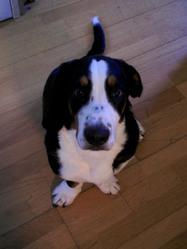 Domino, chien