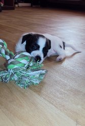 Mignion, chien Jack Russell Terrier