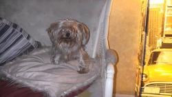 Elfy, chien Yorkshire Terrier