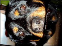 Ganja, chien Rottweiler